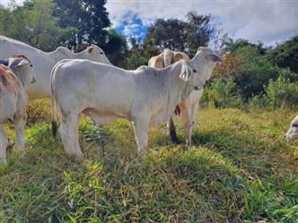 Touro Brahman P.O Registrado à venda em Minas Gerais