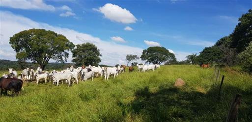 Vacas Nelore Belo Horizonte
