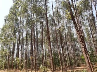 Fazenda de Eucalipto a venda de 700 ha Abaeté Minas Gerais