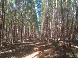 Vendo Floresta de Eucalipto com 452 ha em Pirapora Minas Gerais