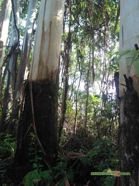 Vendo Fazenda de Toras de Eucalipto Saligna Vermelho em São Paulo SP