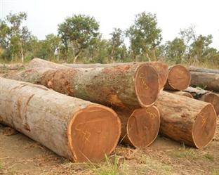 Exportação de Eucaliptos do Brasil