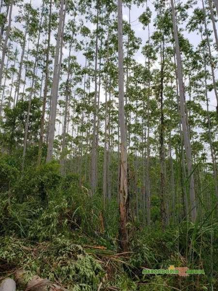 Exportação de Madeira de Eucaliptos Urograndis do Brasil