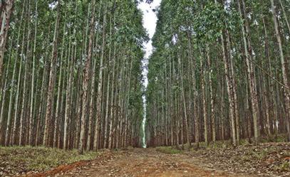 Vendo Floresta de Eucalipto em Itabira