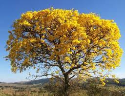 Mudas de Ipê Cascudo Amarelo Belo Horizonte