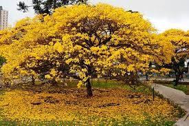 Mudas de Ipê  Amarelo do Cerrado  Belo Horizonte