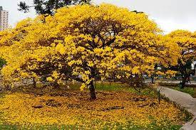 Mudas de Ipê  Amarelo do Cerrado a venda  Belo Horizonte