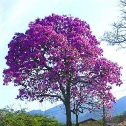 Mudas de Ipê  Produzindo Flor a venda em  Belo Horizonte