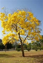 Arvore de Ipê Amarelo a venda