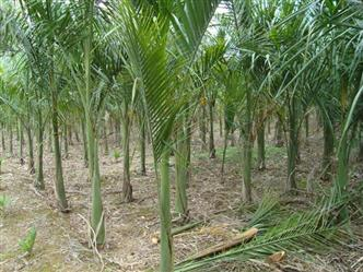 Vende-se Mudas de Palmeira Imperial Belo Horizonte e Região