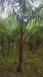 Mudas de Palmeira Imperial a venda
