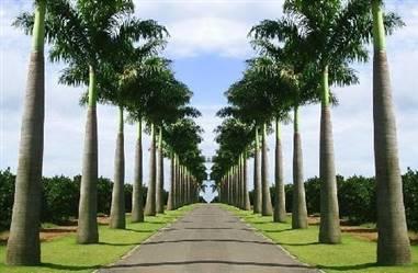 Mudas de Palmeira Imperial direto do Viveiro Belo Horizonte