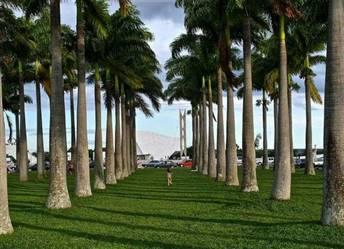 Palmeira imperial mudas Minas Gerais
