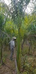 Mudas de Palmeira Imperial a venda com 4 metros em Belo Horizonte