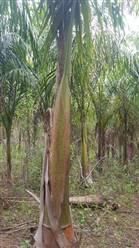 Mudas de Palmeira Imperial a venda com 6 metros em Belo Horizonte