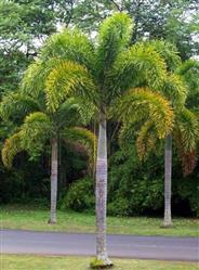 Vende-se Mudas de Palmeira Rabo de Raposa em  Belo Horizonte e Região