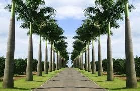 Produtor de Mudas de Palmeira Imperial