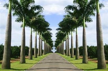 Mudas de Palmeira para Praças