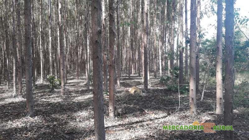Vendo Floresta de Eucalipto a 270 KM de Sete Lagoas