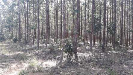 Vendo Floresta de eucalipto em Minas Gerais