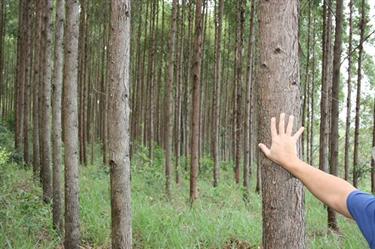 Compramos e Vendemos Florestas de Eucalipto em Minas Gerais
