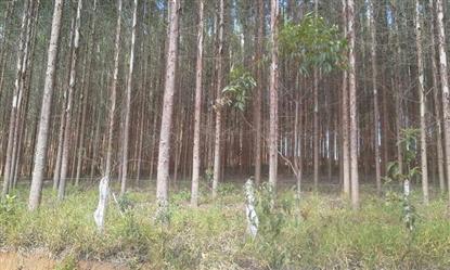 Vendo Floresta de Eucalipto na Região de Juiz de Fora Minas Gerais