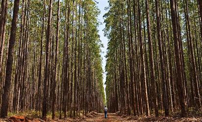 Compramos e Vendemos Florestas de Eucalipto em Pitangui Minas Gerais