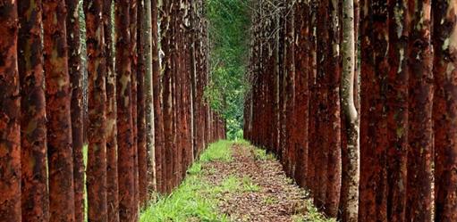 Compro e Vendo Florestas de Eucalipto em Goiás