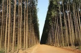 Vendo Florestas de Eucalipto em Pé em São João Del Rey