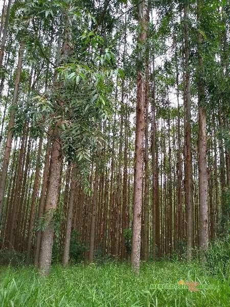Vendo Floresta de Eucalipto em pe em São João del Rei