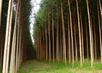 Compro e Vendo Florestas de Eucalipto em Itabira MG