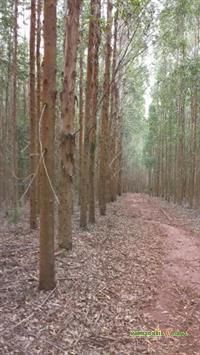Vendo Floresta de Eucalipto Urocam VM1 em pe em Minas Gerais