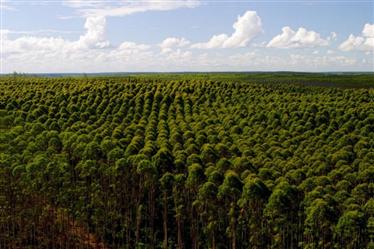 Vendo Floresta de Eucalipto de 3500 ha em Minas Gerais