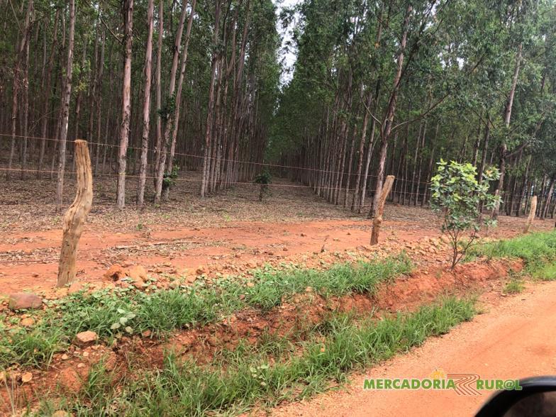 Floresta de Eucalipto Citriodora em MG