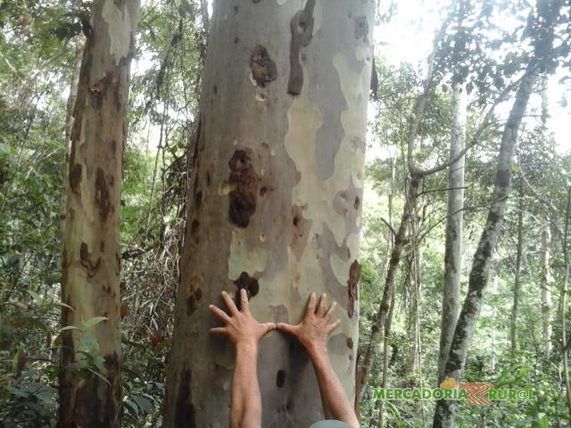 Vendo Floresta de 1000 ha de Eucalipto Citriodora Brasil