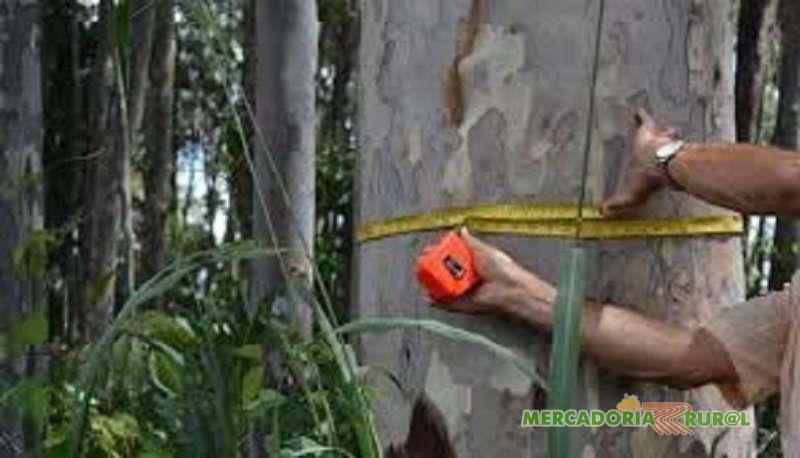Compro e vendo florestas de Eucalipto Citriodora