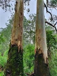 Floresta de Toras de Eucalipto Citriodoro São Paulo a Venda
