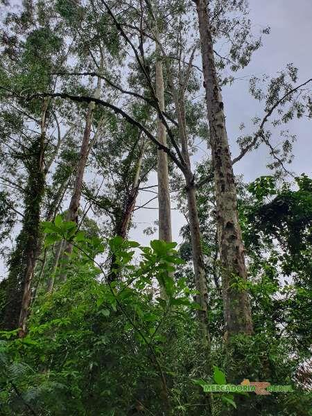 Floresta de Citriodora à Venda