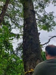 Floresta de Toras de Eucalipto Saligna Vermelho a Venda em São Paulo