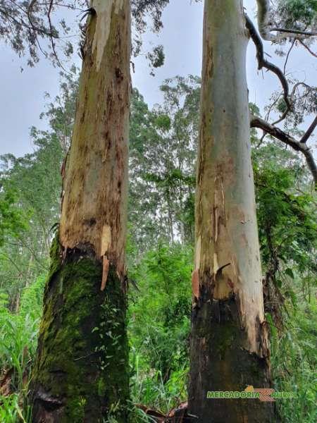 Vendo Toras de Eucalipto Citriodora em São Paulo