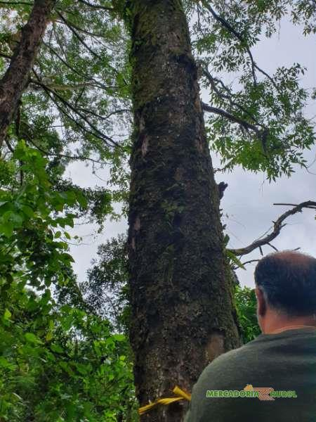 Floresta de Eucalipto Saligna Rosa a venda em São Paulo