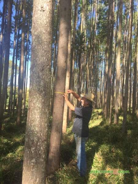 Vende Floresta de Eucalipto GG 100 em Limeira São Paulo