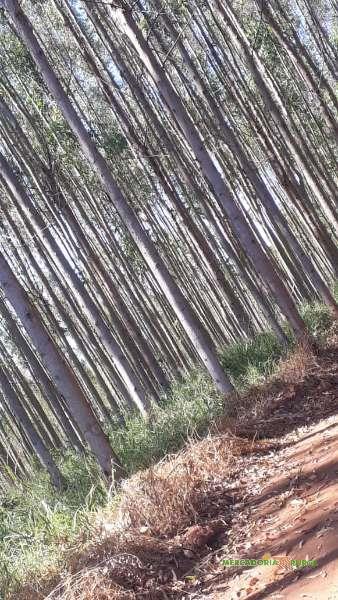 Vendo Floresta de Eucalipto de 275 ha em Minas Gerais