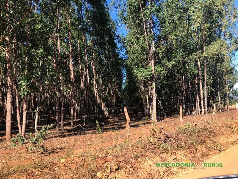 Vendo Floresta de Eucalipto Citriodora 120 ha de 10 anos em Curvelo Minas Gerais