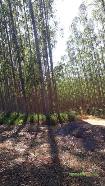 Vendo Floresta de Eucalipto com 200 ha em Minas Gerais