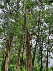 Vedo Floresta de Eucalipto Citriodoro em São Paulo