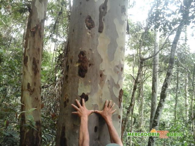 Madeira de Eucalipto Citriodora a Venda 10000m3