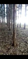 Vendo Floresta de Eucalipto de 500 ha Ilhéus Bahia