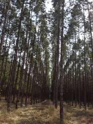 Vendo Floresta de Eucalipto com Fornos para Carvão no Norte de Minas