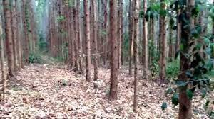 Vendo Floresta de Eucalipto Araponga MG